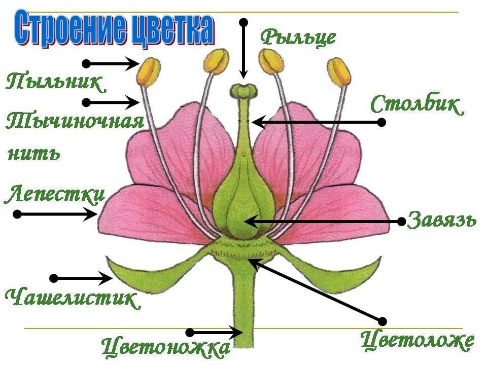 Схема цветка по биологии
