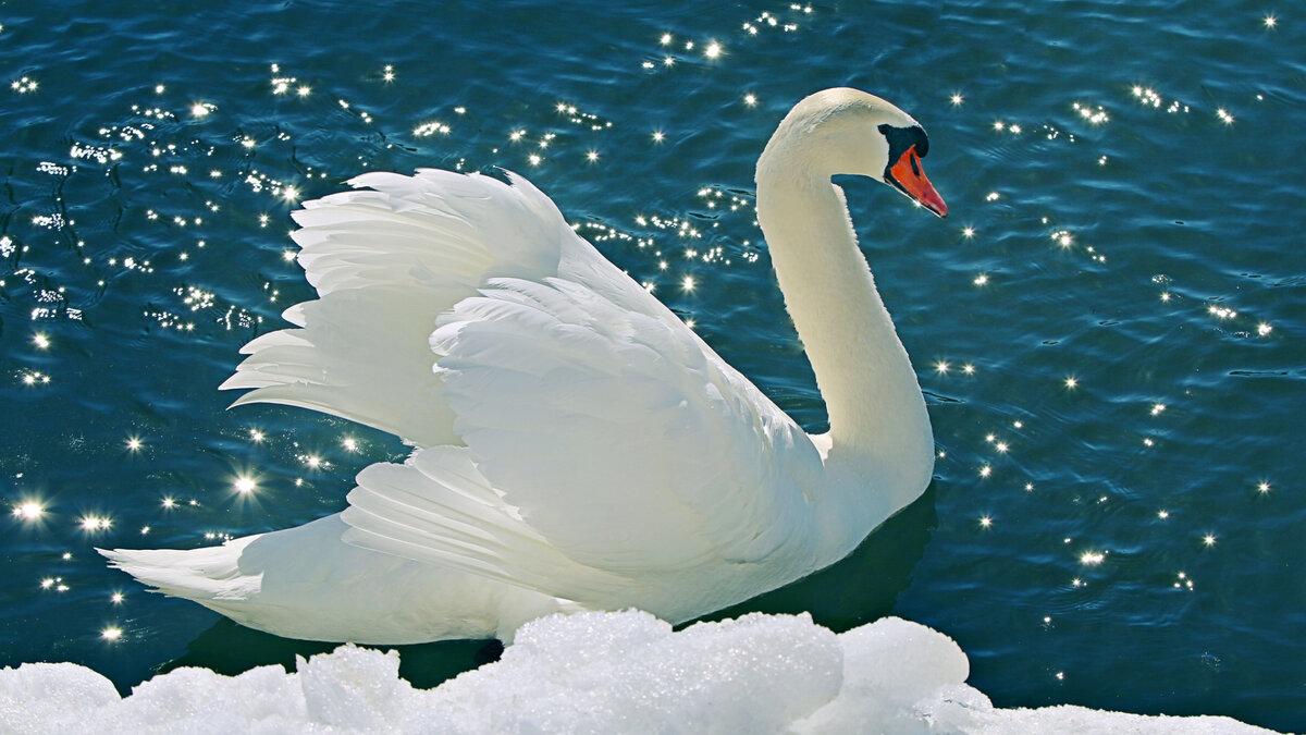 Лебеди картинки фото, картинок надписью