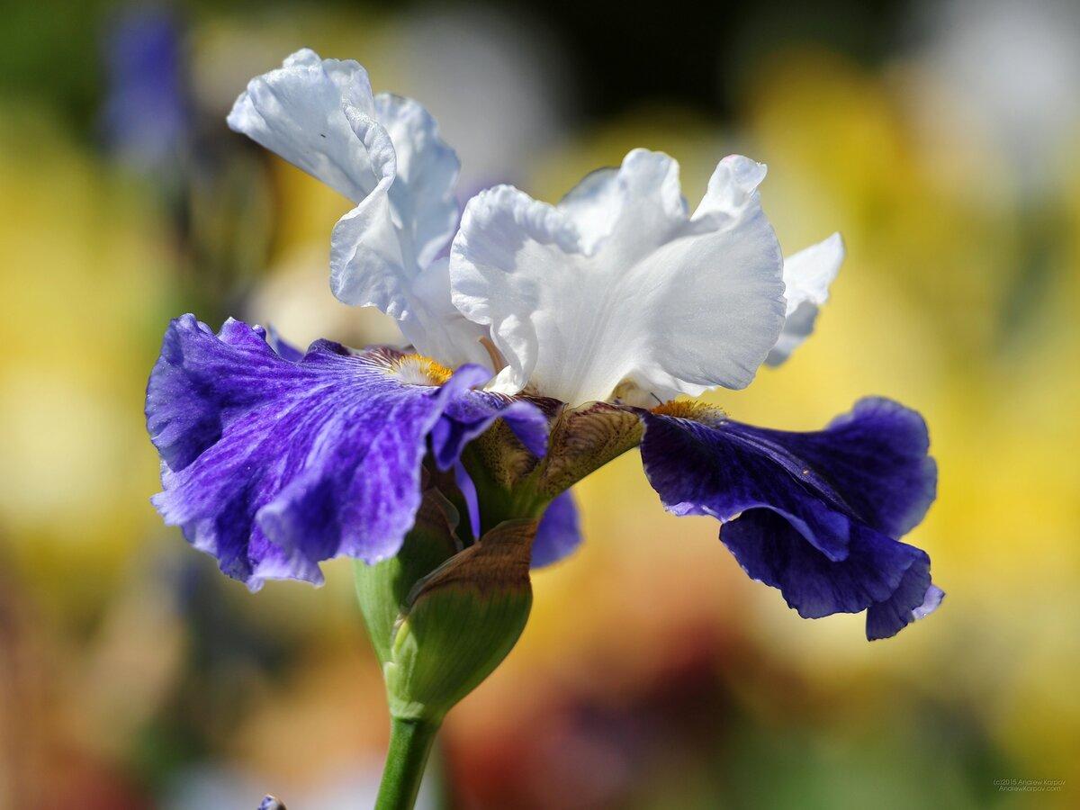 Фото цветов ирисов в хорошем качестве
