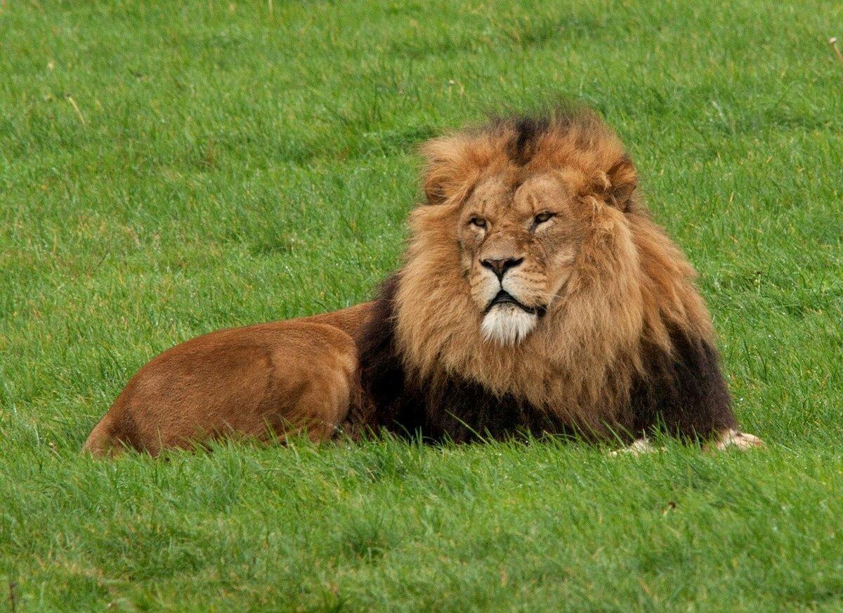 потому африканские львы фото фотоконкурса