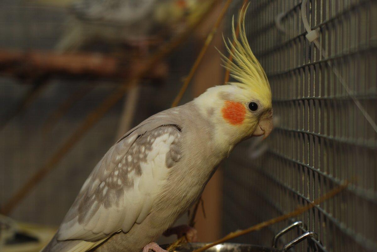 Попугай карела картинка