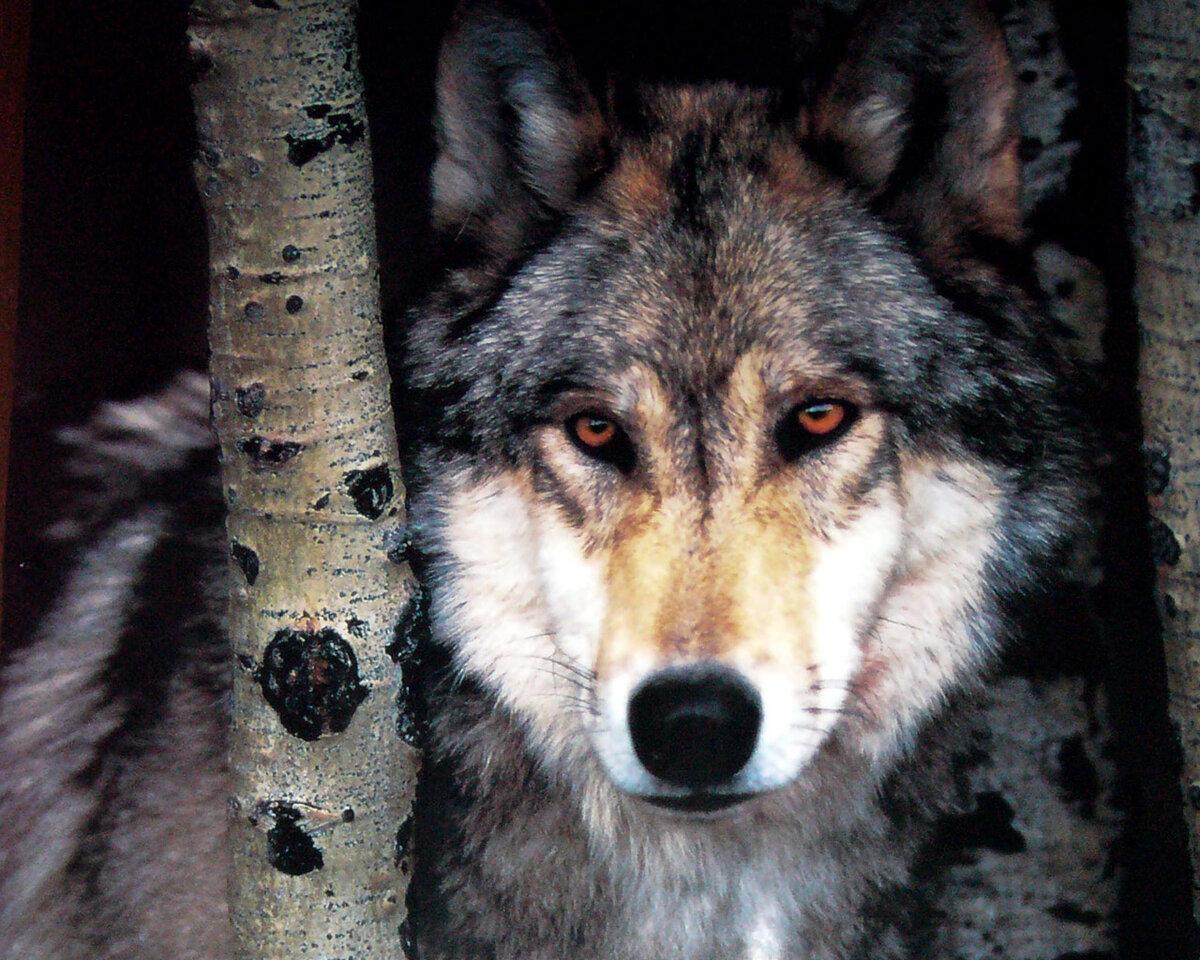 Волк подборка фото