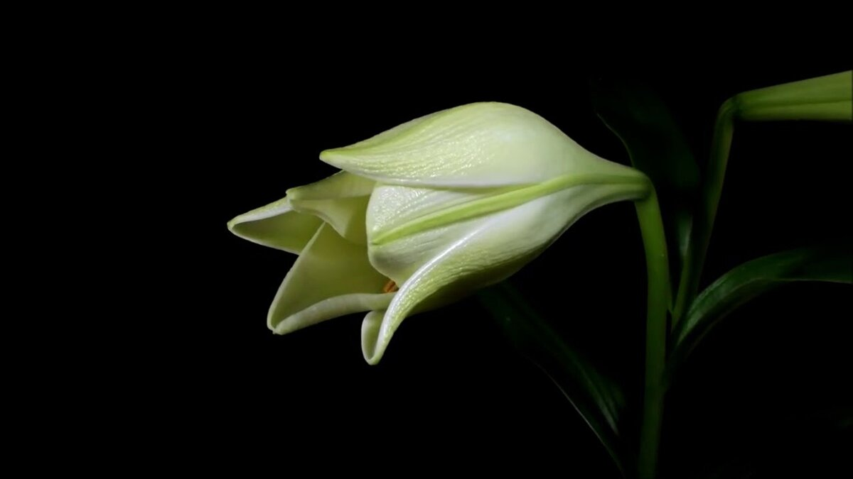 Анимации картинки распускающийся цветок