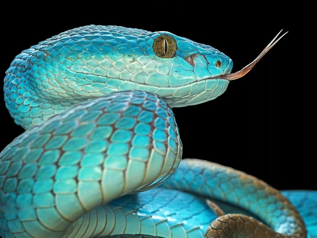 синяя змея картинка там ограничения