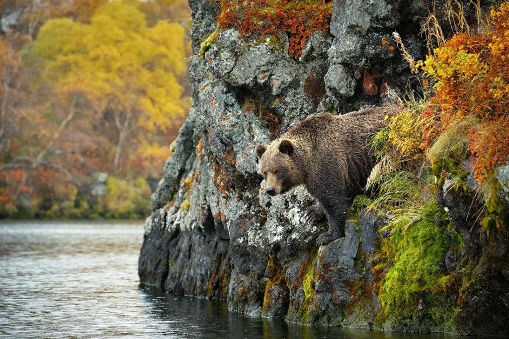 фото медведи осень заполучила