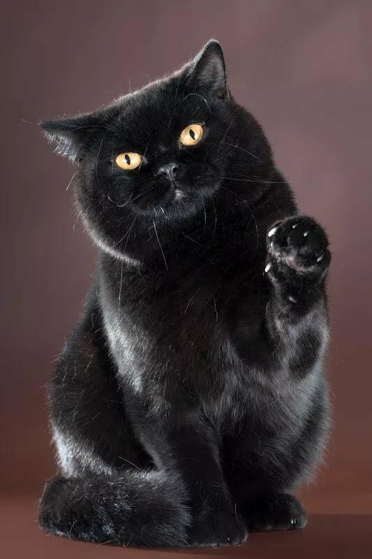 британец черный котенок фото апеннинского