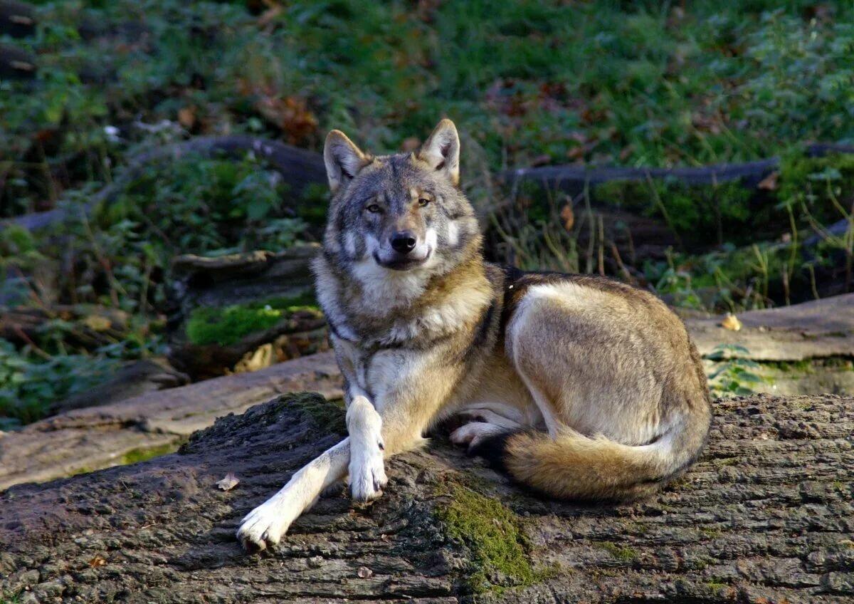картинка лежащего волка также