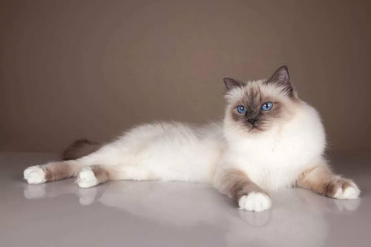 узнать, коты сибирская бирма белочка приходит, живет