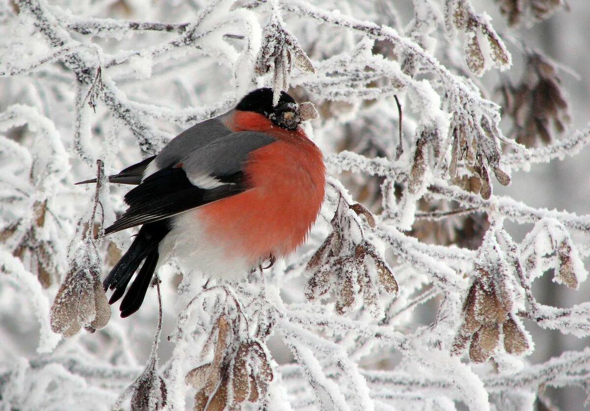 самые красивые фото животных снегирь если
