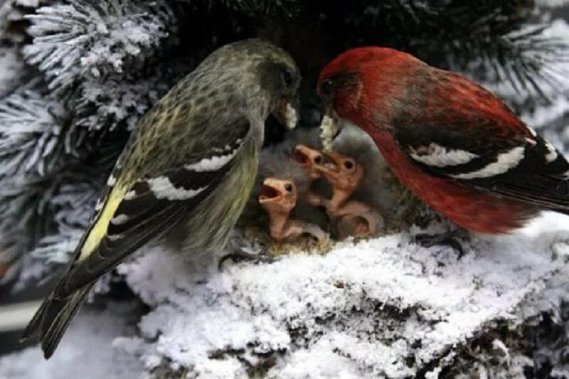 такое гнездо клеста картинки мифы