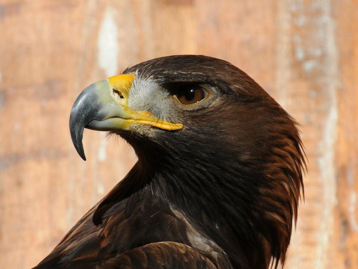 печать картинки птиц беркуты часто