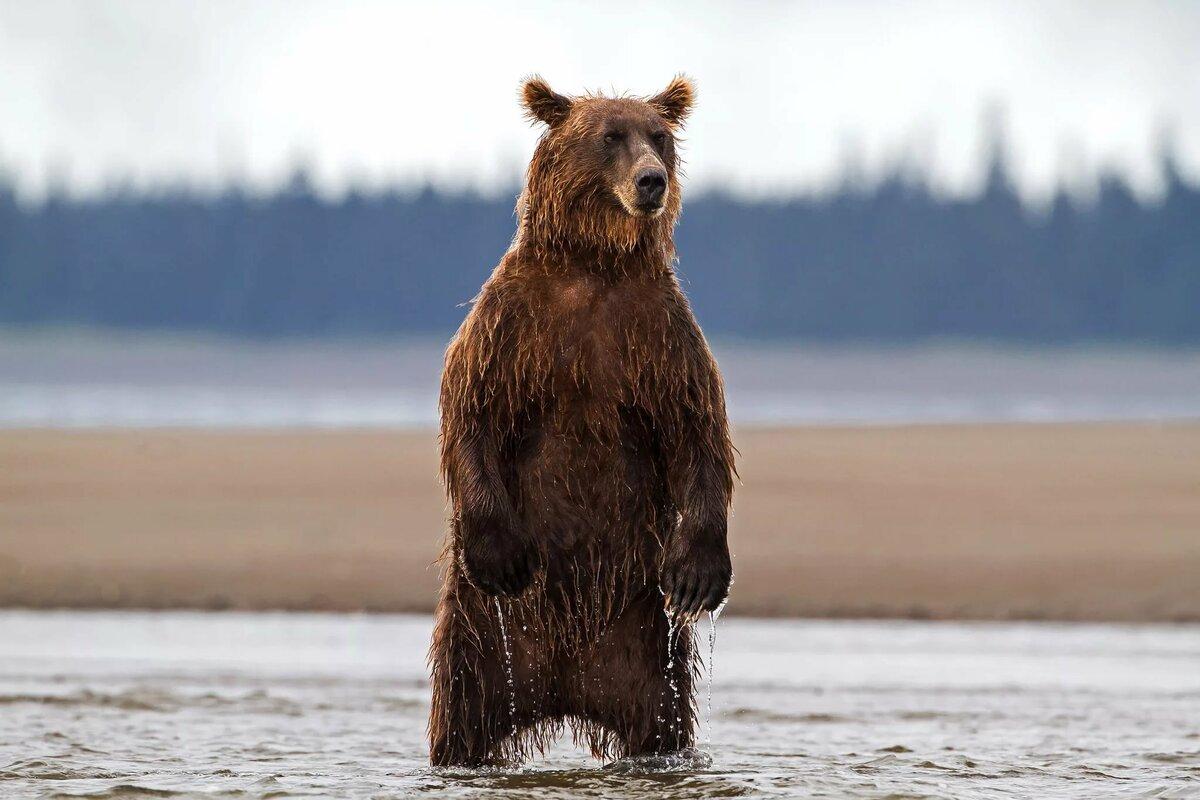 картинка бурый медведь в костюме белого проводил здесь, ирпене