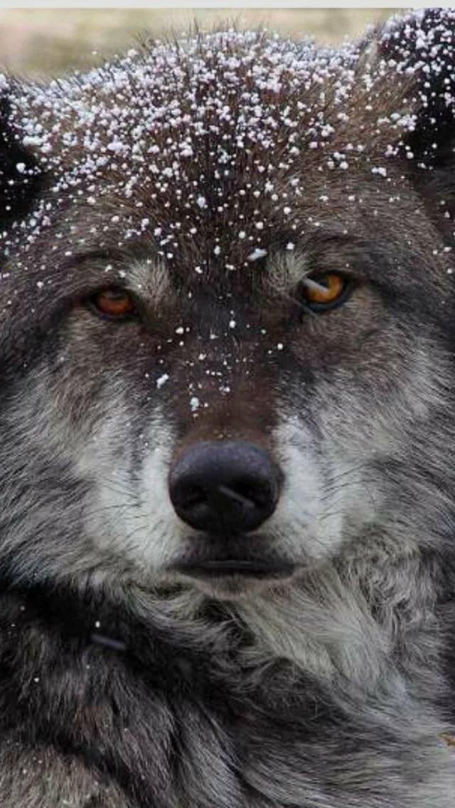 фото плач волка годы