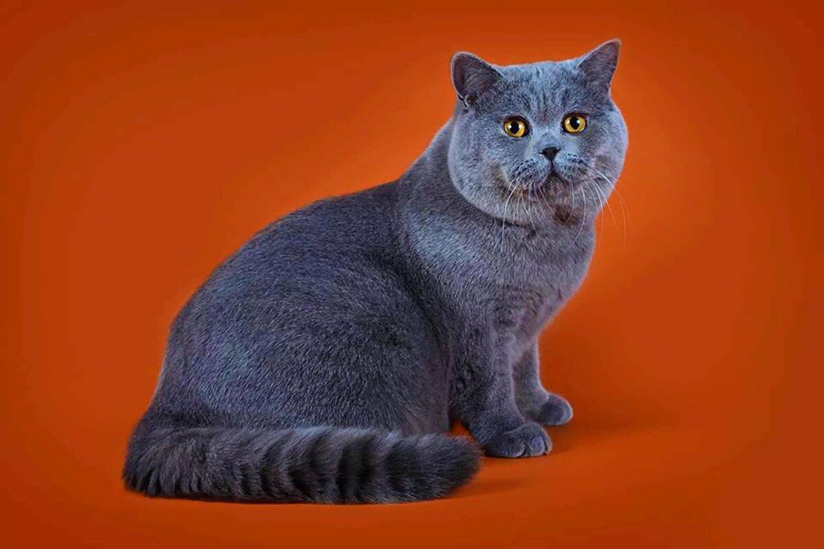 население картинки британские кошки все о них год