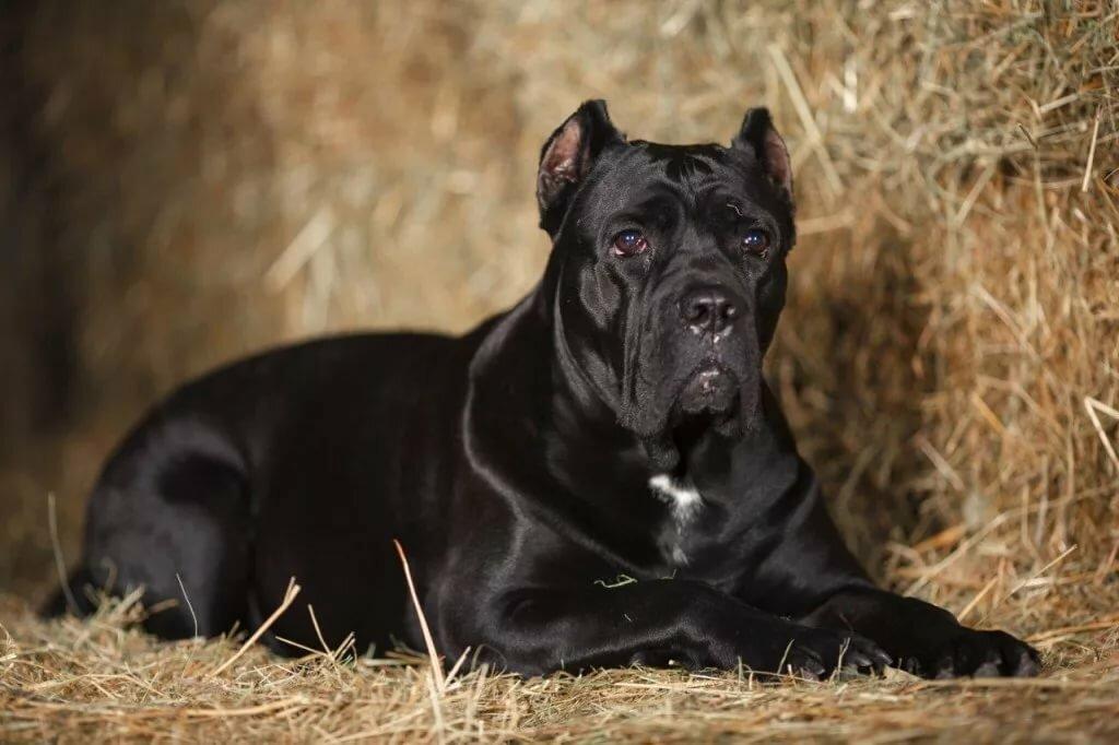 Собака породы кане корсо картинки