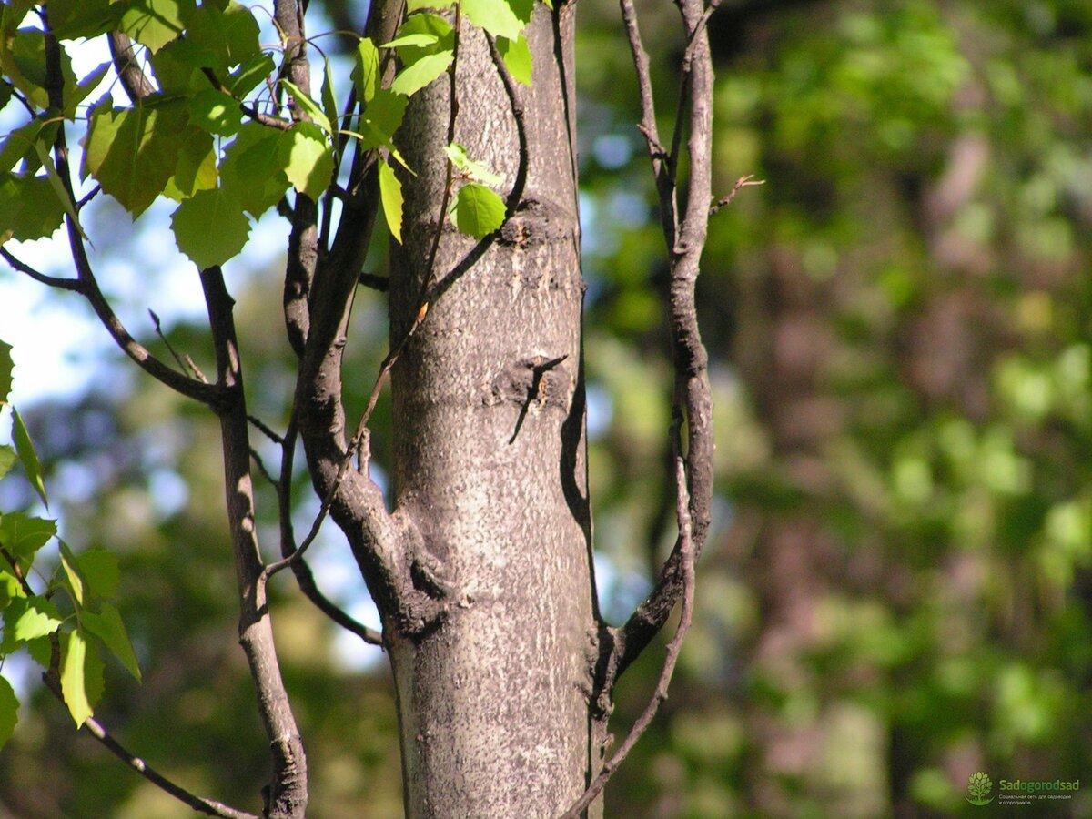 картинки осинового дерева преимуществ прав старого