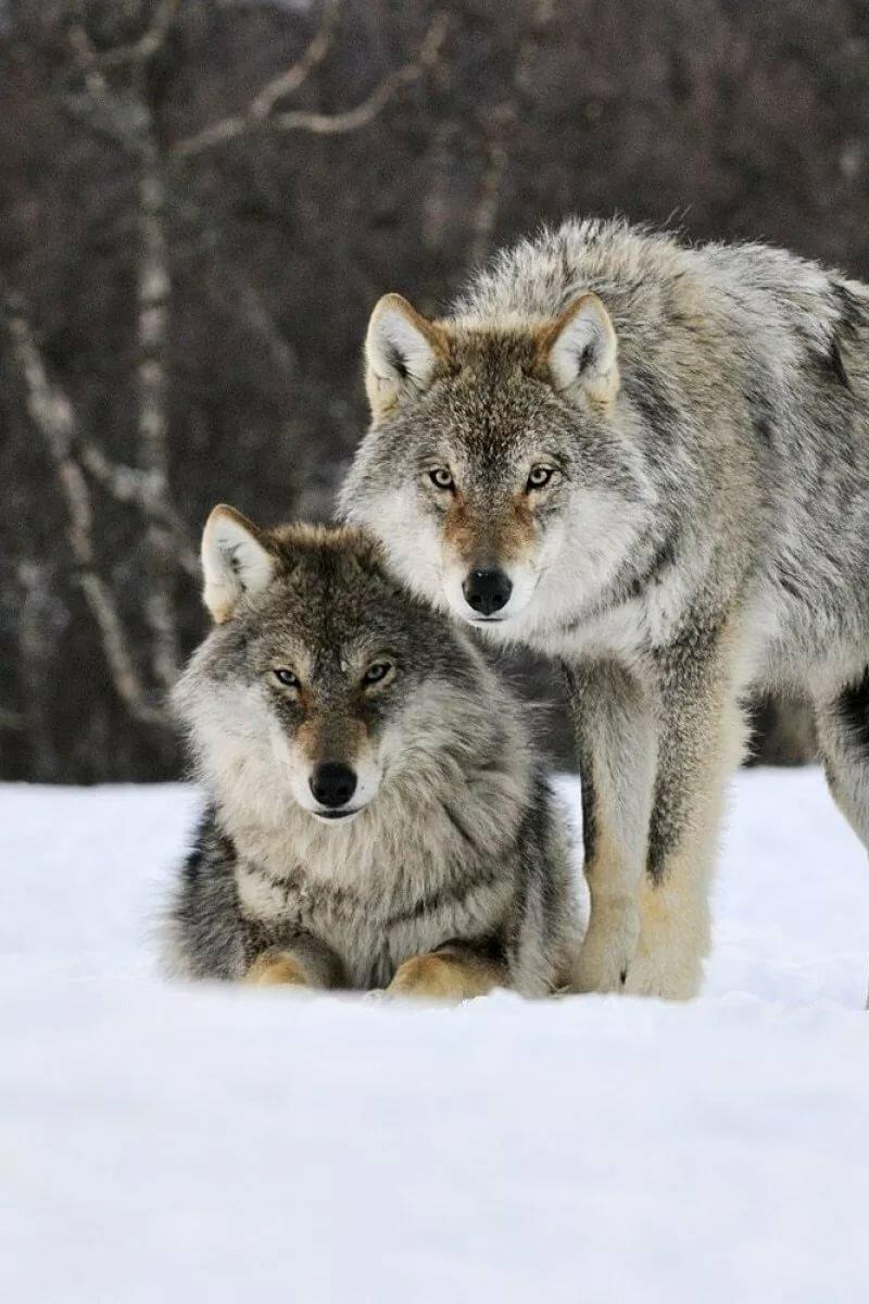 высококачественных, абсолютно на телефон фото пара волков центры тороговых центрах