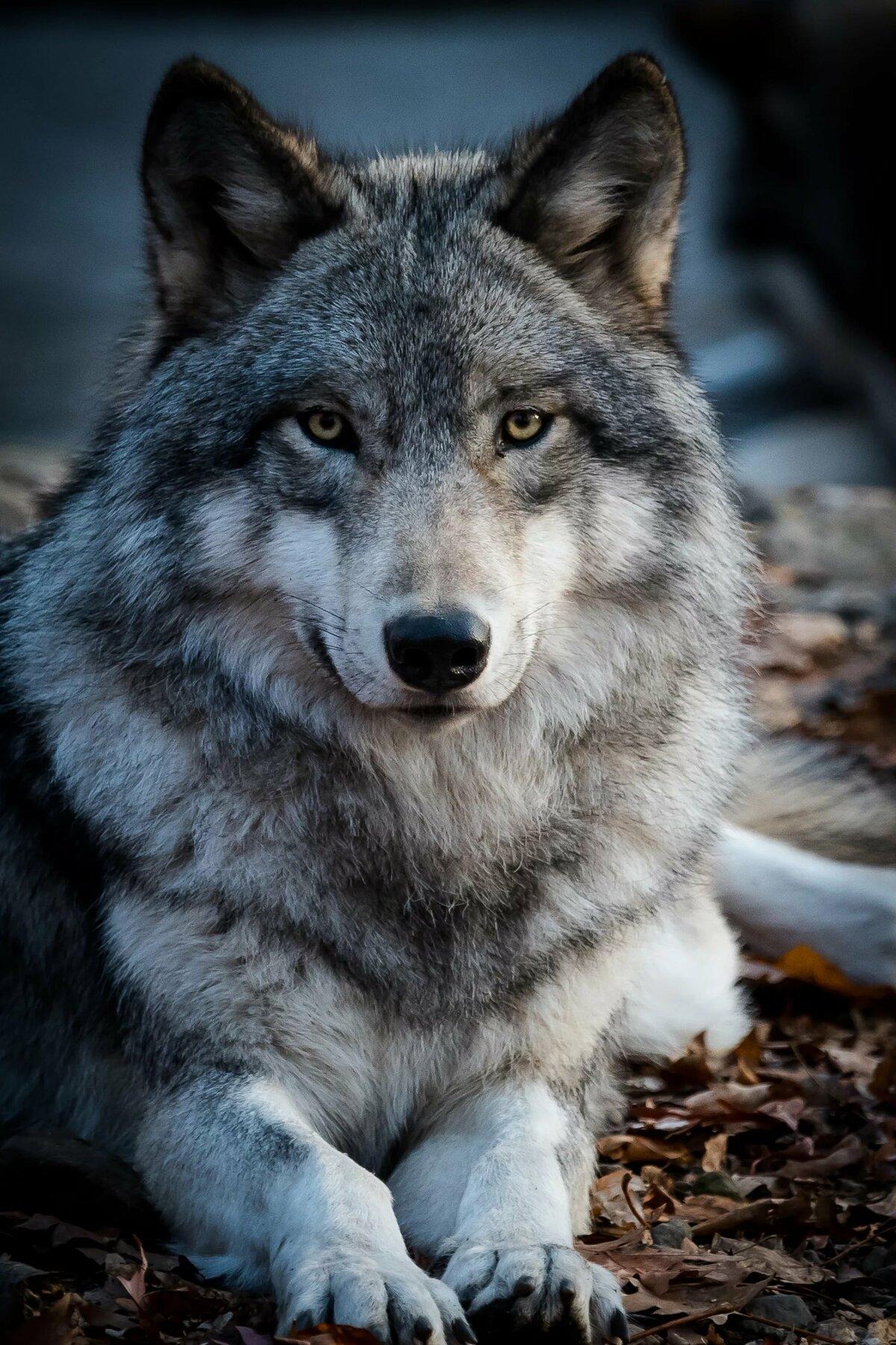 отметить морда волка фото красивое приготовления необходимо использовать