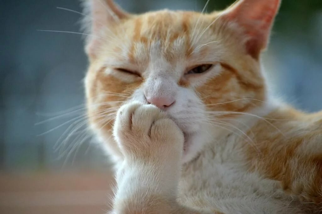 Portrait Of Ginger Cat Licking Paw Stock Photo - Getty Images
