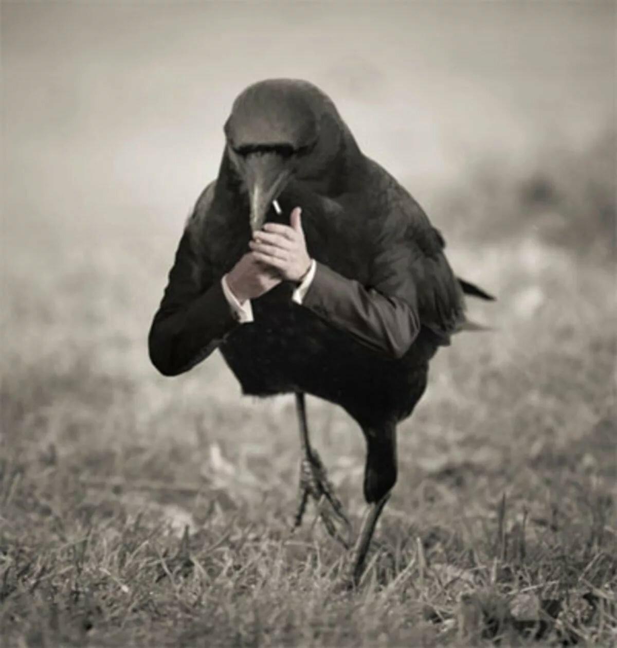 Смешные картинки с воронами