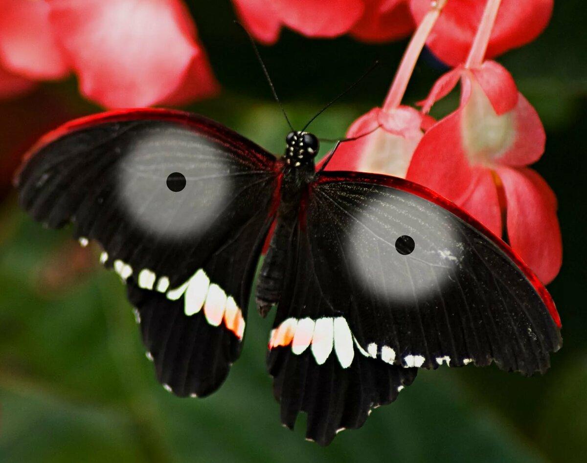 Бабочки названия большие картинки