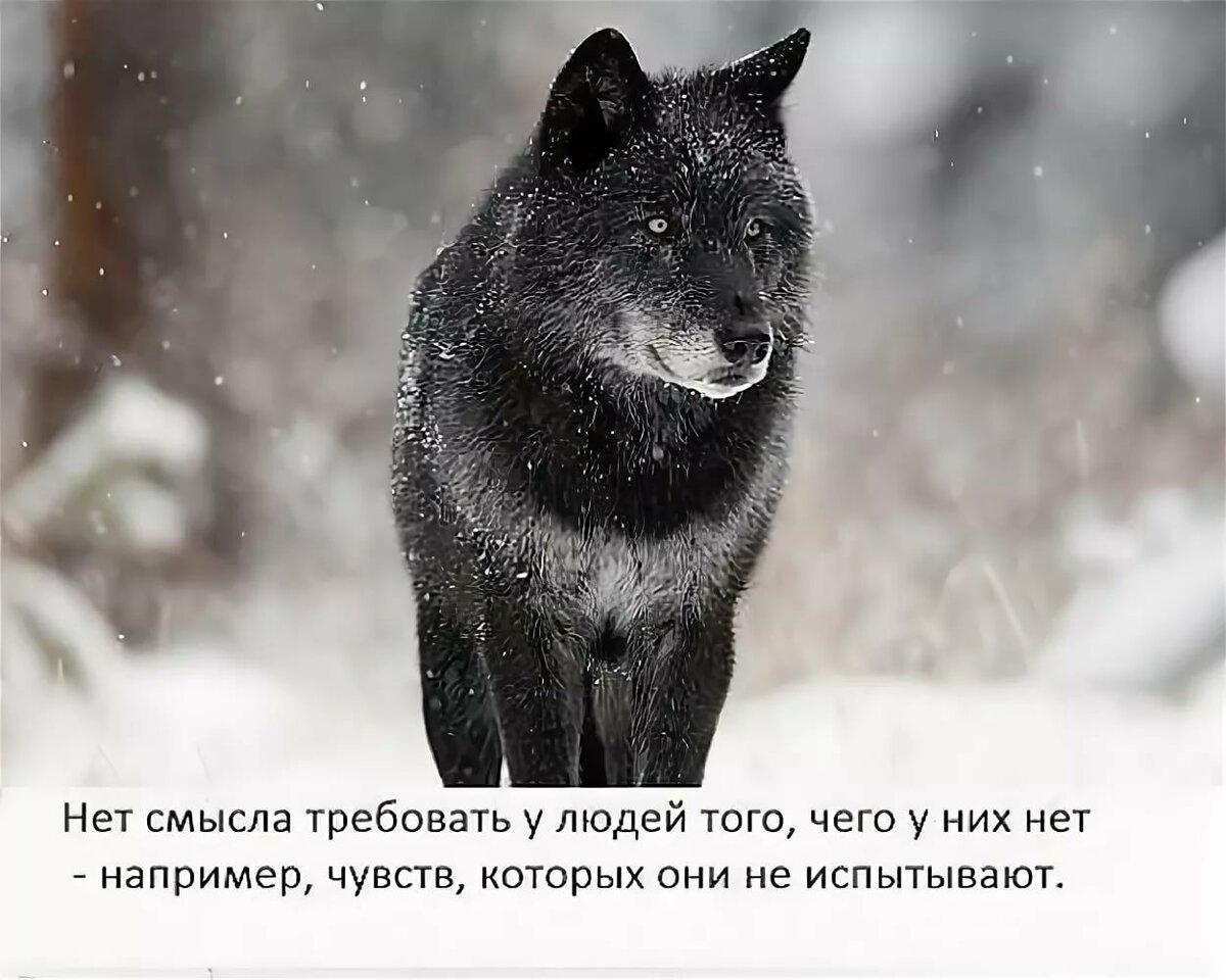 Волк фото картинки с надписями