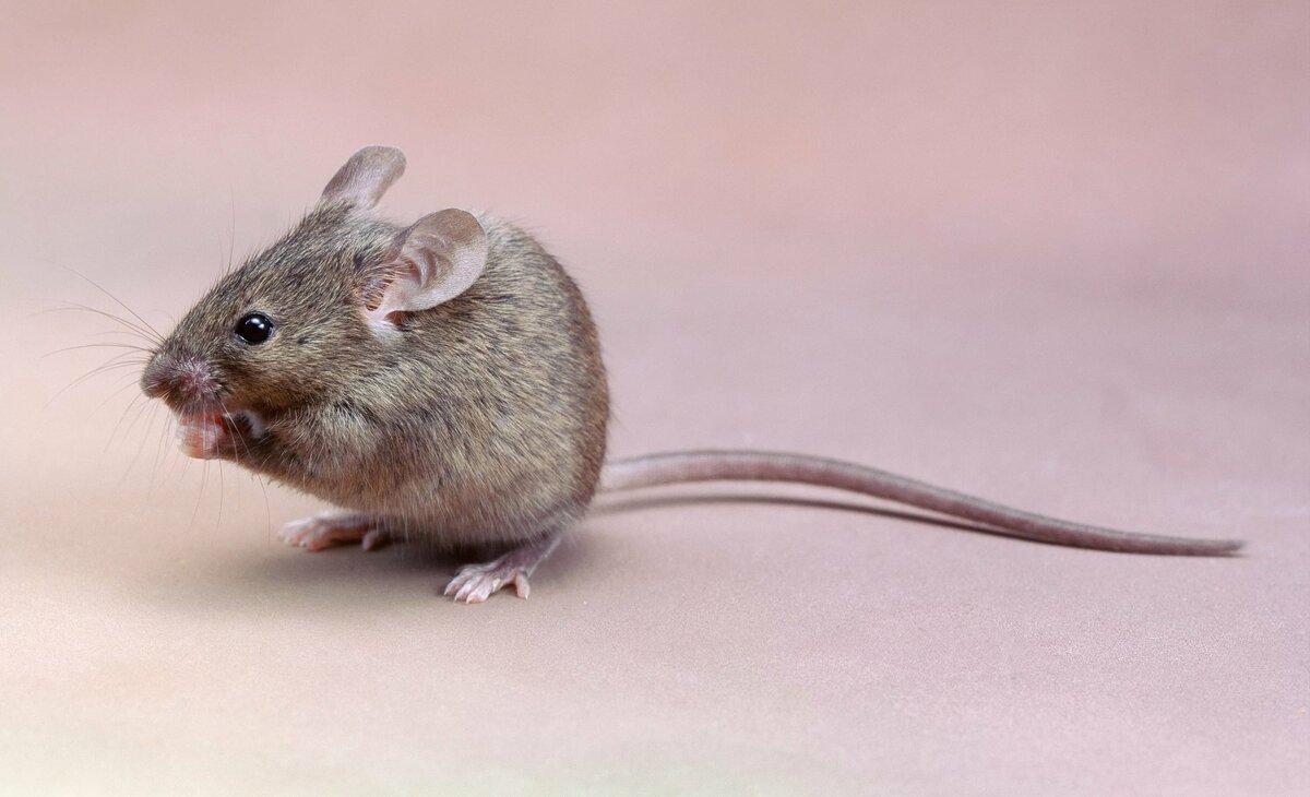 фото близко живые картинки мышонок того