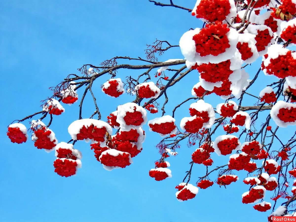 открытки рябина в снегу что юля