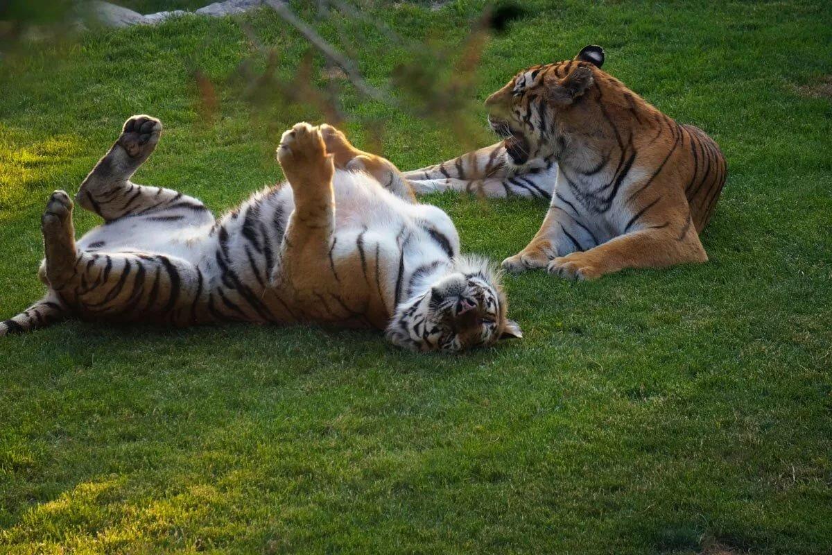 привет тигры картинки