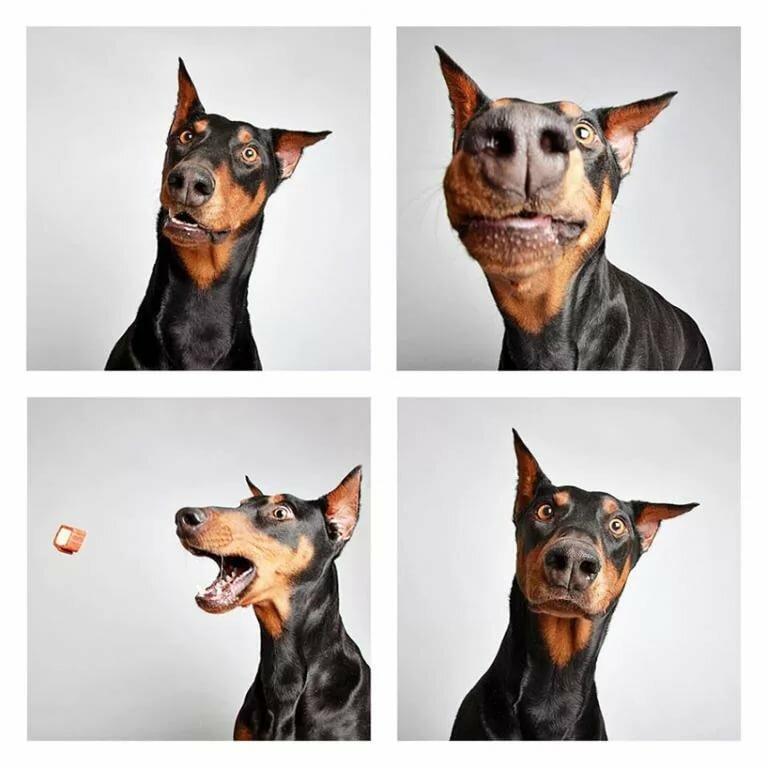 Смешные картинки доберманов
