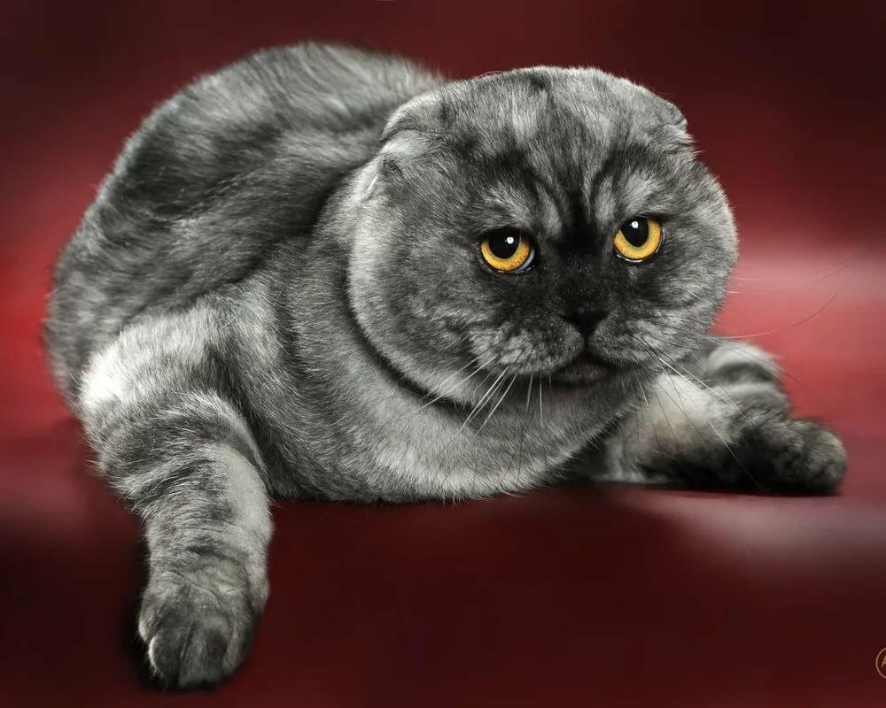 коты шотландцы фото вислоухие груз всегда радует