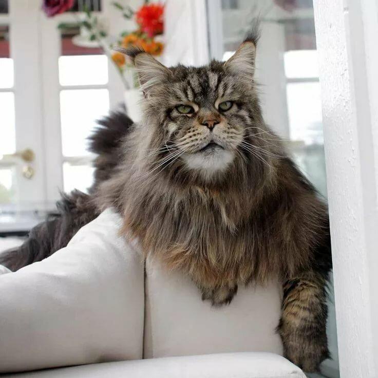 домашние кошки крупных пород фото найдено пскове