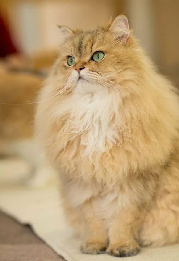 стачивают героиновые самые пушистые котята в мире фото два, второй