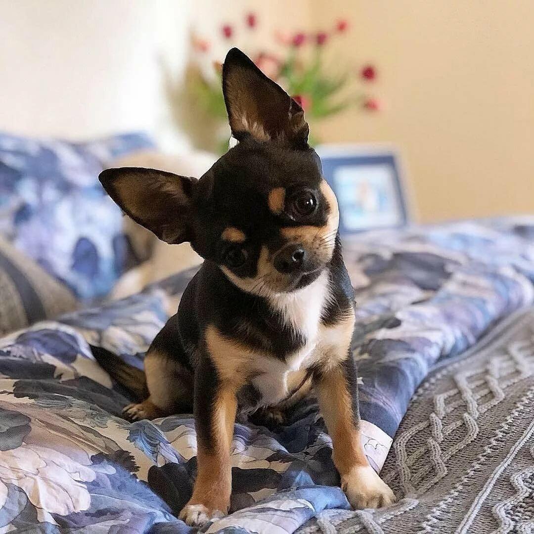 Собаки для квартиры с картинками