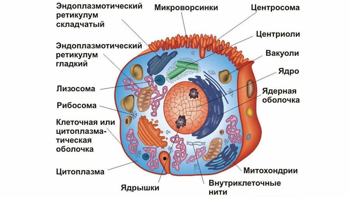 празднику схема строение клетки картинки зигзаг