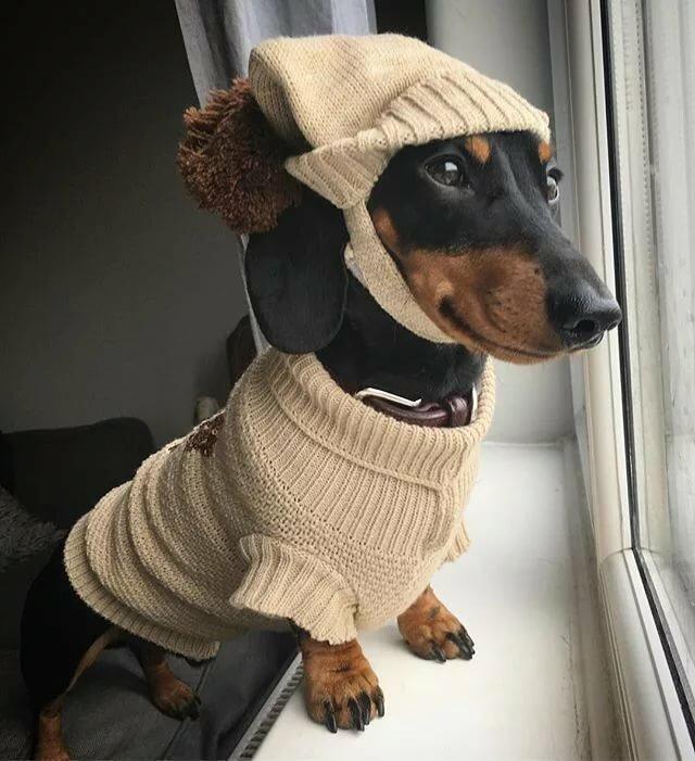 смешные картинки собак такс сегодня это уже