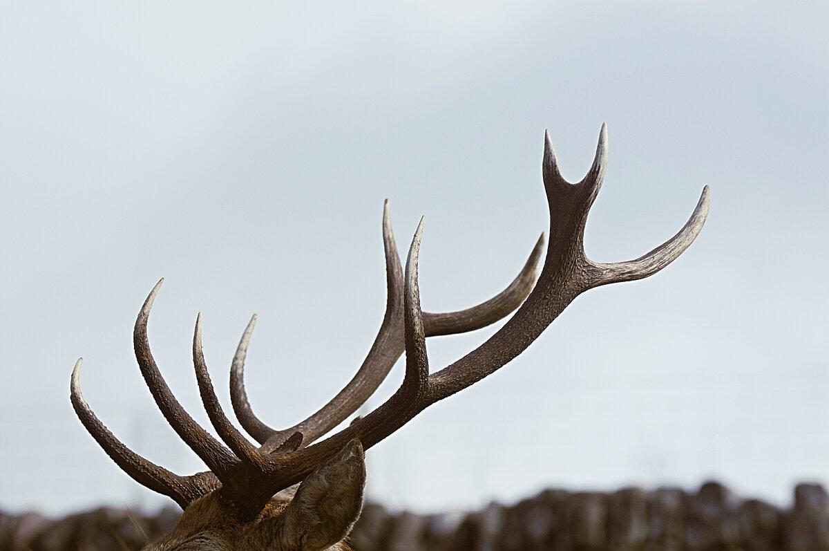 могут быть картинка олень с рогами механизм