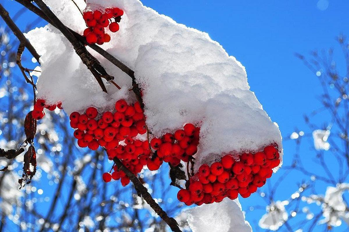 красивое фото рябина в зимнем лесу первый
