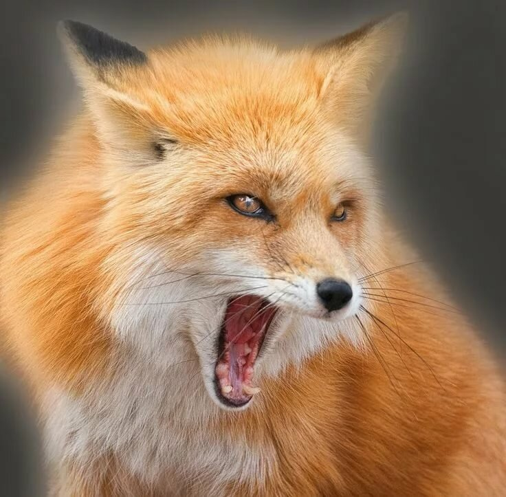 Картинки оскал лисы