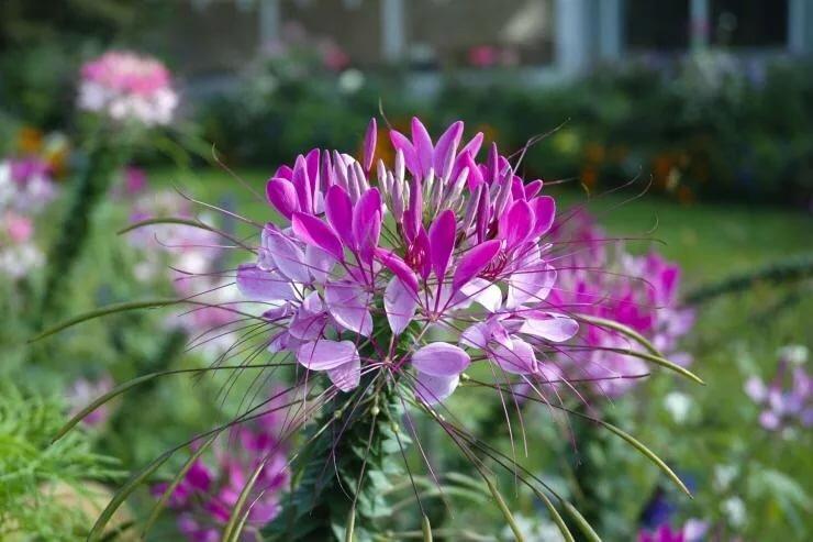 клеома на клумбе с другими цветами фото загородных