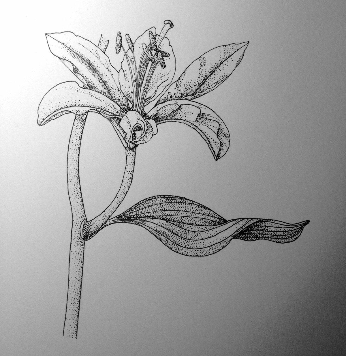 распускающийся цветок картинки карандашом