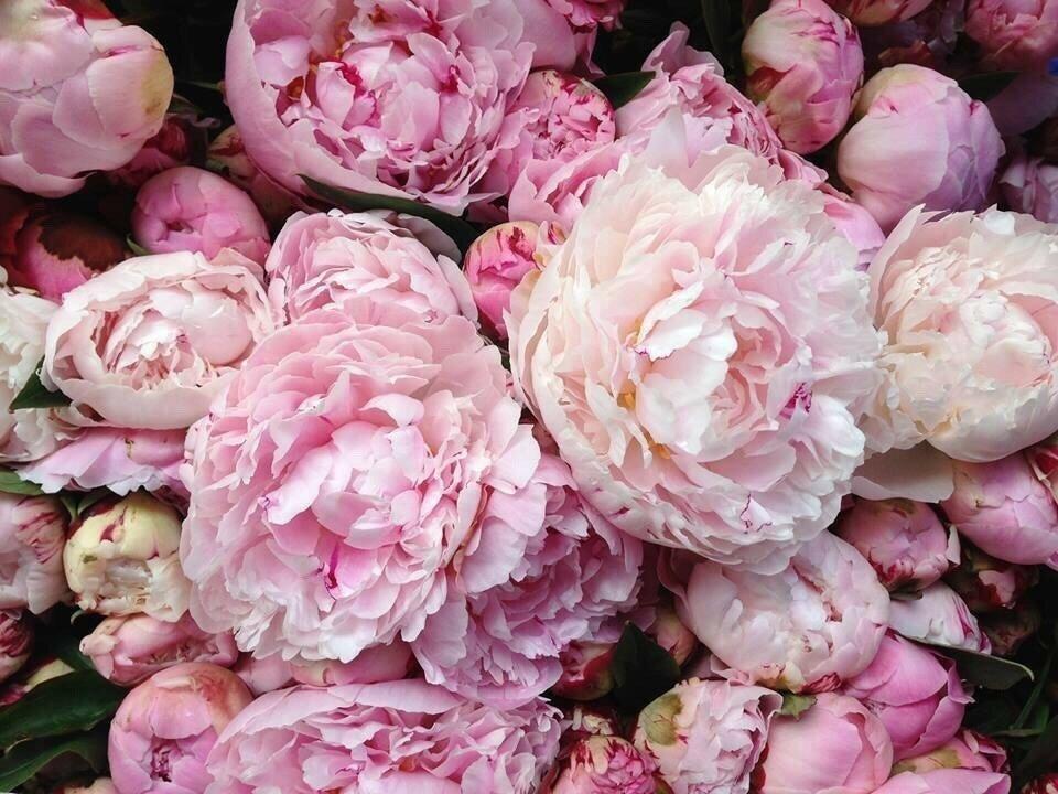 Картинки, картинки цветы красивые пионы на телефон