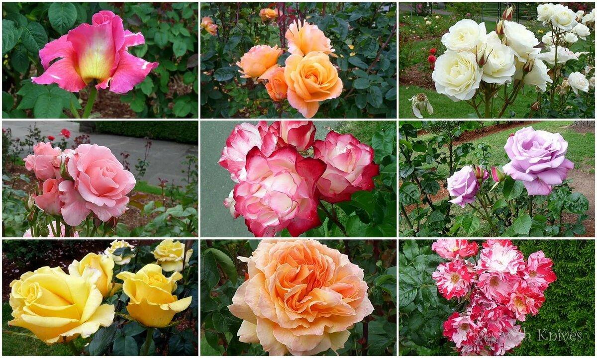 Виды роз с фото и названиями