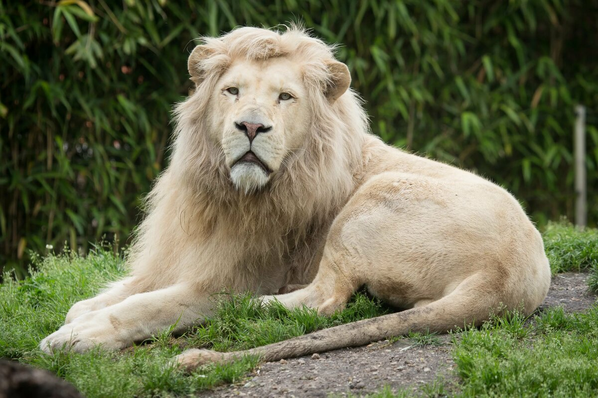 Картинки самые большие львы