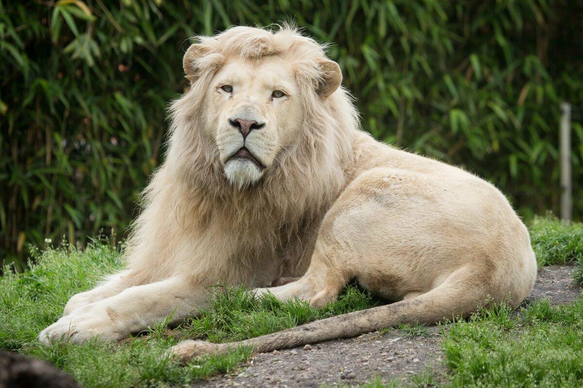 сожалению, картинки про белых львов изготовлена