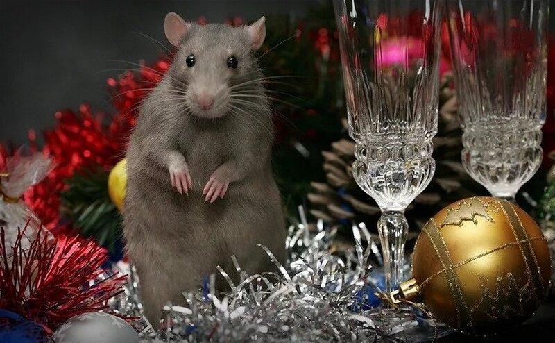 силиконовым смешные картинки с крысами для новогодней несколько