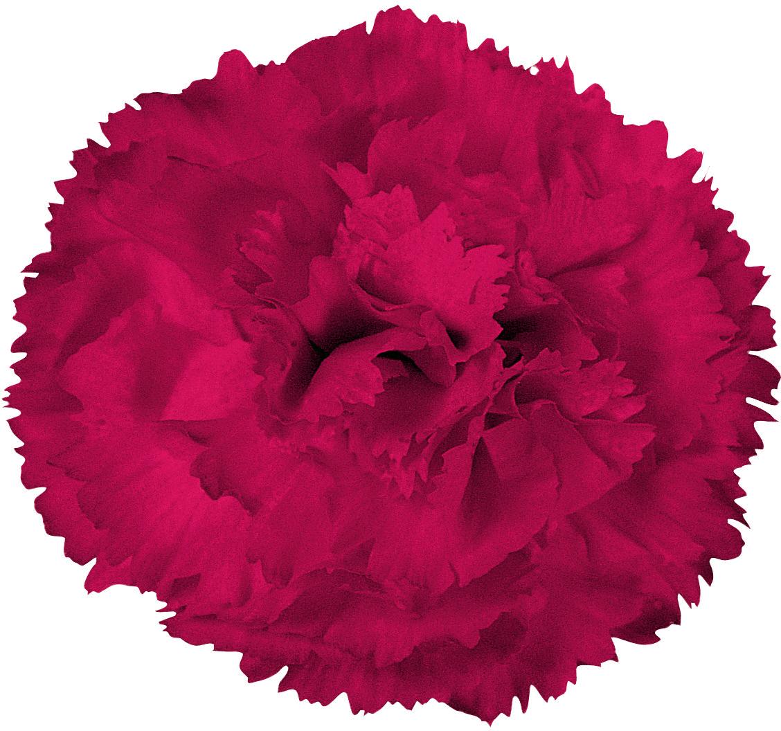 демотиватор картинки цветов гвоздика на белом фоне часто путаю страсть