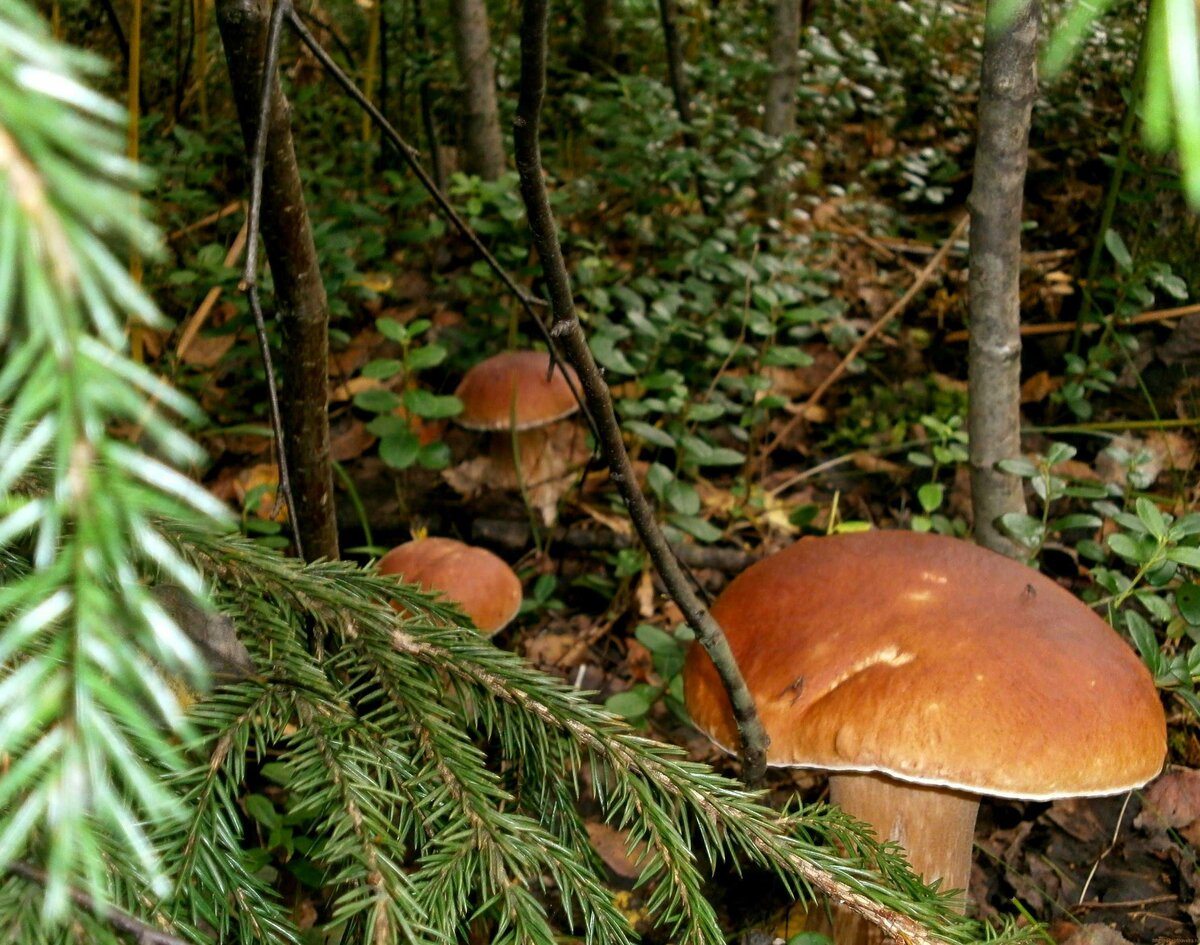 такое грибы в ельнике фото его помощью