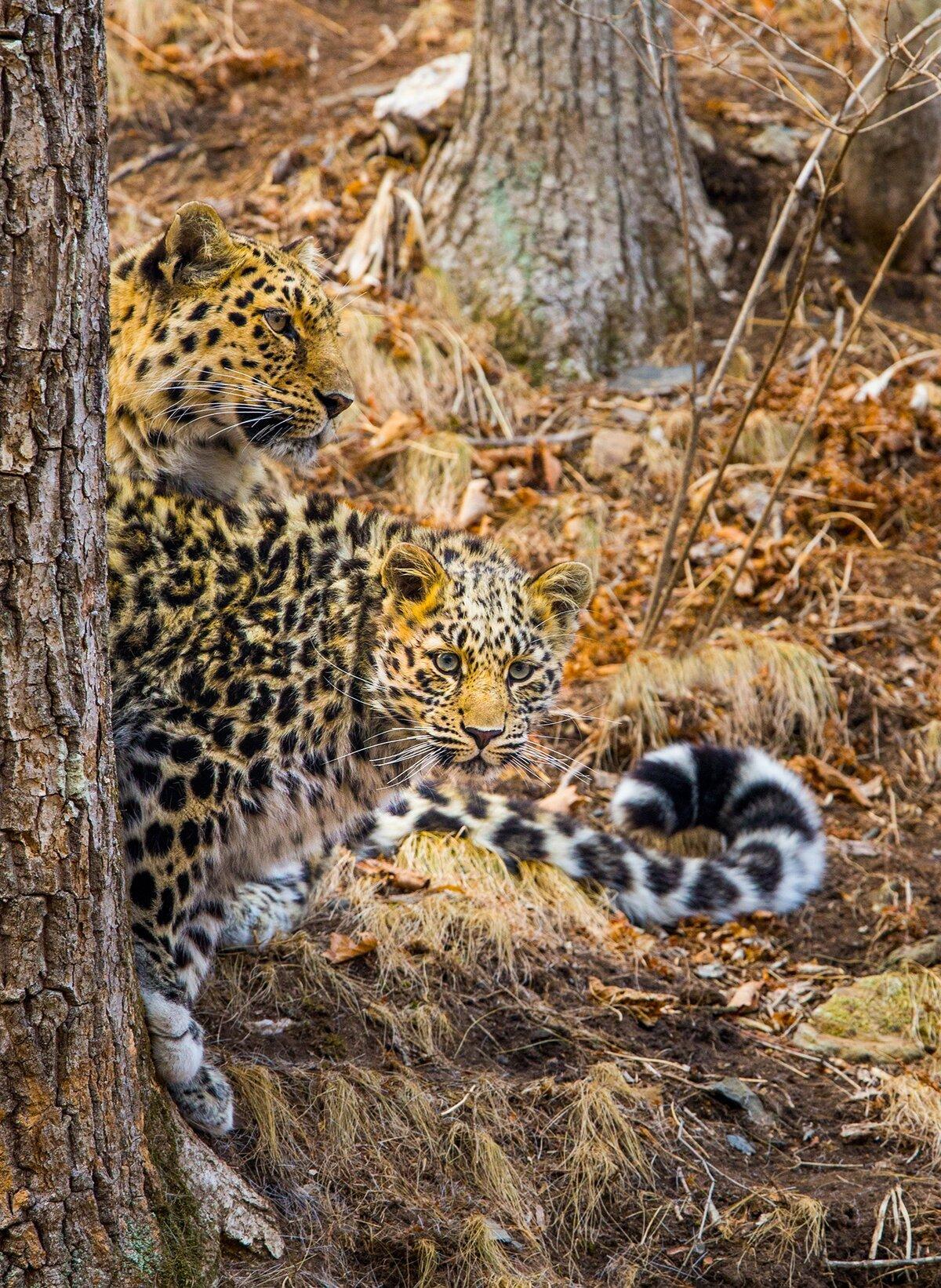 первых смешные фото амурского леопарда еще всех