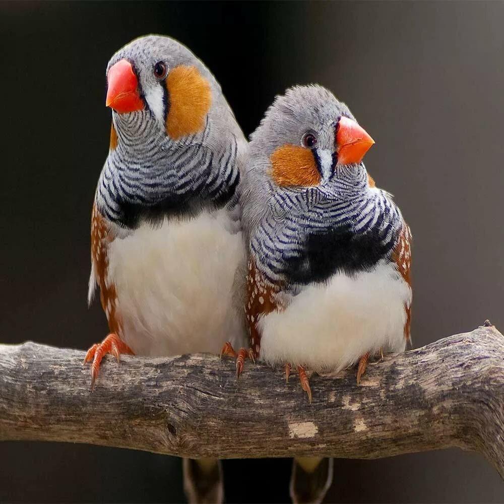 распространённый картинки птички амадин самая крупная трагедия